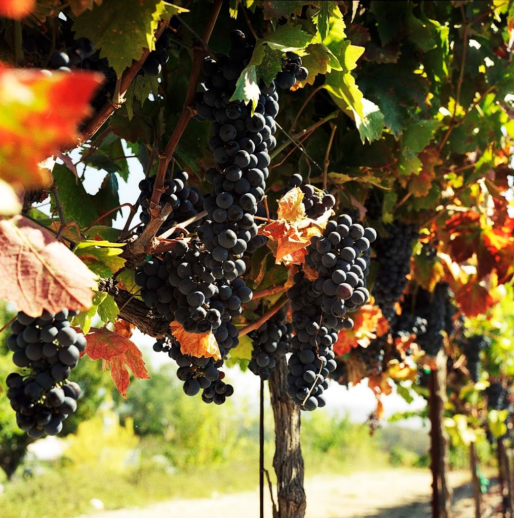 Finger Lakes Wine Grapes