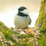 bird-chickadee_93022